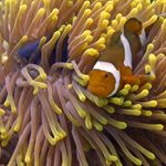 anemone reef coral